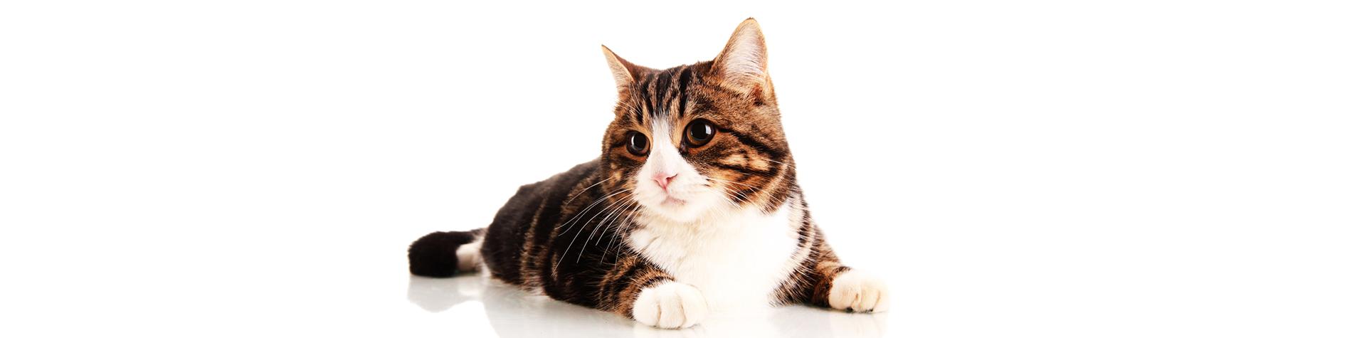 Cat-Feature2